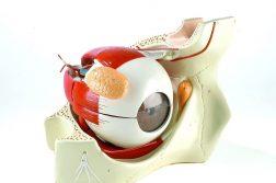 Eye Anatomical Model Market